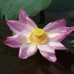 Malaisie fleur de lotus (©asiatogether.uniterre.com)