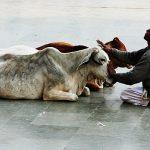 Inde vache sacrée (©diloy47.over-blog.com)