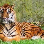Tigre de Sumatra (©speet.com)