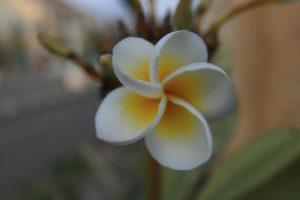 Fleur du frangipanier : fleur nationale