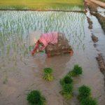 Bottes de riz