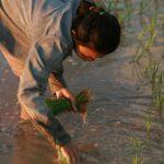 Planter de riz