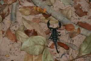 Scorpion dans la forêt sacrée
