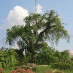 Maruyama Park et son plus vieux cerisier