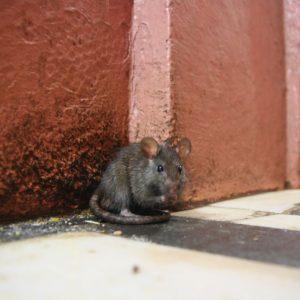 Petit rat d'opéra