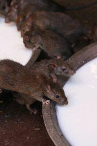 Rats Bijacob