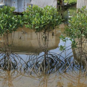 Plantes de mangrove