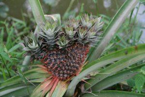 Ananas mutant