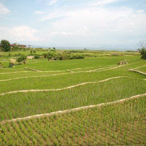 Rizières indonésiennes