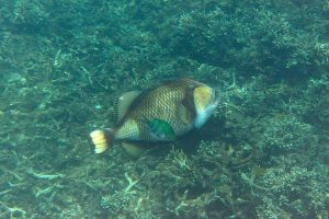 Triggerfish (snorkeling)