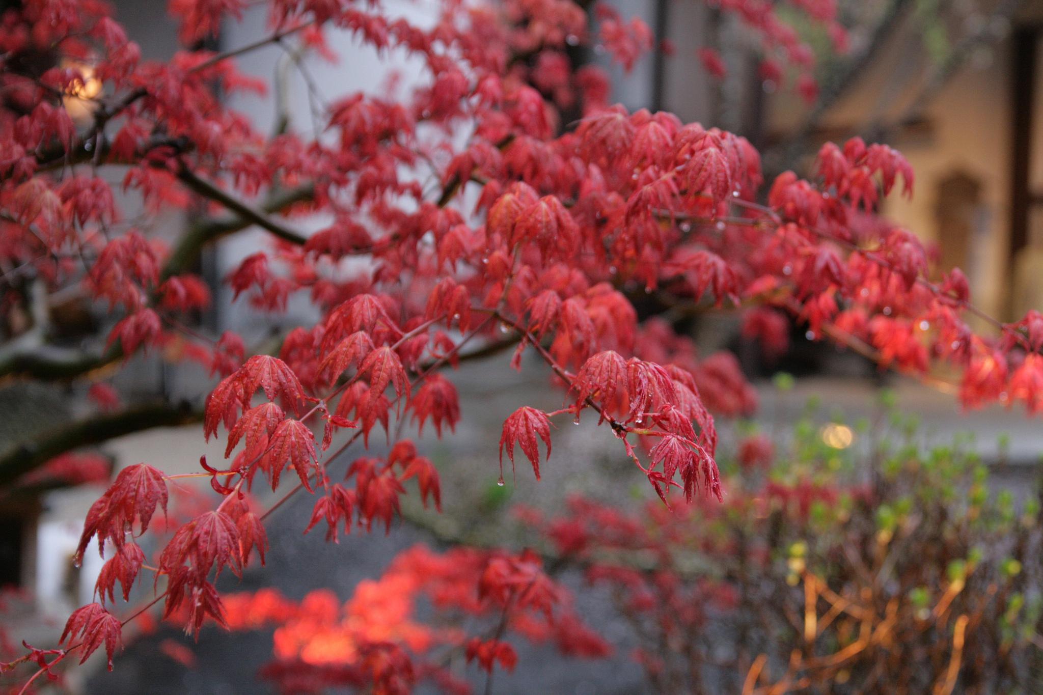 Erable Du Japon Petit erable japonais sous la pluie - notre petit grain d'asie