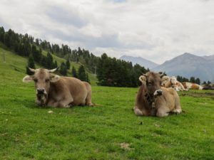 Vaches tyroliennes